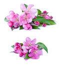 Pink tree flowers blossom on white background beginning of spring fruit Stock Images