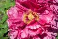 Pink tree peony flower in full bloom