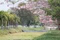 Pink trumpet pink tecoma rosy trumpet tree in garden Stock Photos