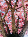 Pink trumpet tree pind tecoma rosy Stock Photos