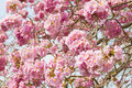 Pink trumpet tree rosy trumpet tree flower pind tecoma in the park Royalty Free Stock Photo