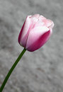 Pink tulip in bloom in early spring