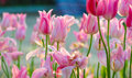Pink tulip bloom in the spring Royalty Free Stock Photo