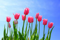 Pink Tulip and blue Sky Stock Images