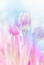 Pink Tulip On Blur Background