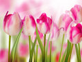 Pink tulip with bokeh eps and also includes Stock Image