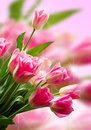 Pink tulip a bouquet of Royalty Free Stock Image
