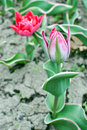 Pink tulip bud tender of flower Royalty Free Stock Photography