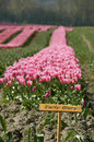 Pink tulip early glory farm Stock Image