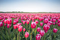Pink tulip field III Royalty Free Stock Photo