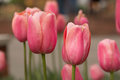 Pink Tulip Field in Michigan Royalty Free Stock Photo