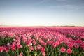 Pink tulip field II Royalty Free Stock Photo