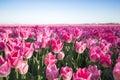 Pink tulip field I