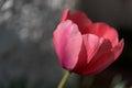 Pink tulip flower closeup