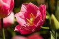 Pink Tulip Flowerhead In Bloom