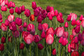 Pink tulip flowers on spring meadow Royalty Free Stock Photo