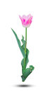 Pink tulip green leaf isolated on white background. Royalty Free Stock Photo