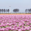 Pink tulip landscape with trees and wind turbine in holland Royalty Free Stock Photo