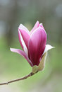 Pink tulip magnolia flower macro in spring close up of a beautiful bud opening Royalty Free Stock Image