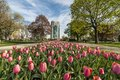 Pink tulip at the park with building on the background Stock Photography