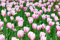 Pink tulip in spring Royalty Free Stock Photos