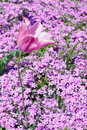 Pink tulip spring flower bed of flowers and Royalty Free Stock Photography