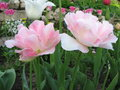 Pink tulip tulipa gavota triumph tulip glowing in the sun Royalty Free Stock Image