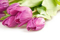 The pink tulips Royalty Free Stock Image