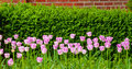 Pink tulips an array of or light purple growing in front of a hedge Royalty Free Stock Image