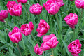 Pink tulips background. Royalty Free Stock Photo