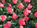 Pink Tulips blooming in Central Park Royalty Free Stock Photo