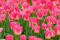 Pink tulips the blooming in the spring Stock Photo