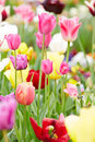 Pink tulips blooming in spring some with other flowers Stock Photos