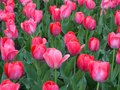 Pink Tulips blooming at springtime Royalty Free Stock Photo