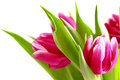 Pink tulips bouquet isolated on white background Royalty Free Stock Photos
