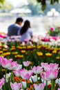 Pink tulips and couple background yellow with blur Royalty Free Stock Photography