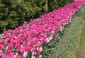 Pink tulips in a an edge garden