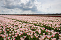 Pink tulips field in the netherlands in spring view of blooming Royalty Free Stock Photo