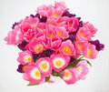 Pink tulips flower  on white background. a greetings car Royalty Free Stock Photo