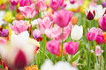 Pink tulips and flowers in field many blooming growing Stock Photos