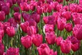 Pink Tulips Horizontal Background Royalty Free Stock Photo