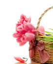 Pink tulips inside wicker basket over white background Stock Photos