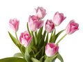 Pink tulips isolated on white Stock Photos