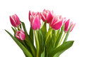 Pink Tulips Isolated
