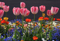 Pink tulips and multicolored garden flowers Stock Photos