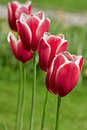 Pink tulips outdoors Royalty Free Stock Images