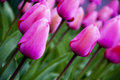 Pink tulips a photo of Stock Images