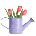 Pink tulips in purple watering can isolated on white Stock Images