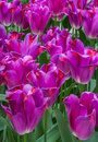 Pink tulips with red highlights from holland in spring Stock Photo