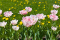 Pink tulips in spring Royalty Free Stock Photos
